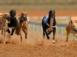 iGaming Times SIS Greyhound Racing