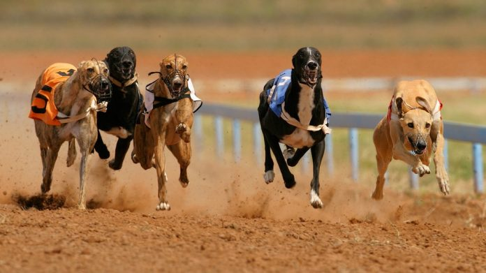 iGaming Times Greyhound Racing